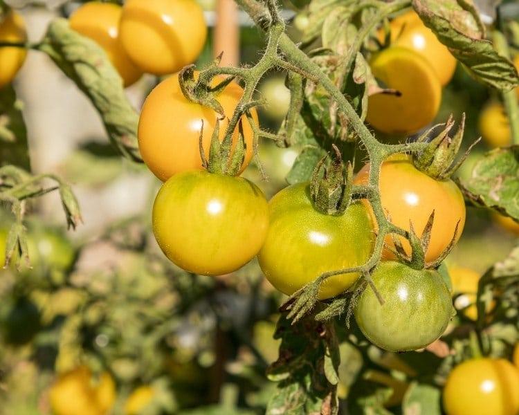 yellow globe tomatoes