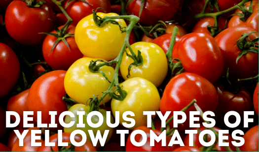 The Best Types of Yellow Tomatoes [& How to Use Them]